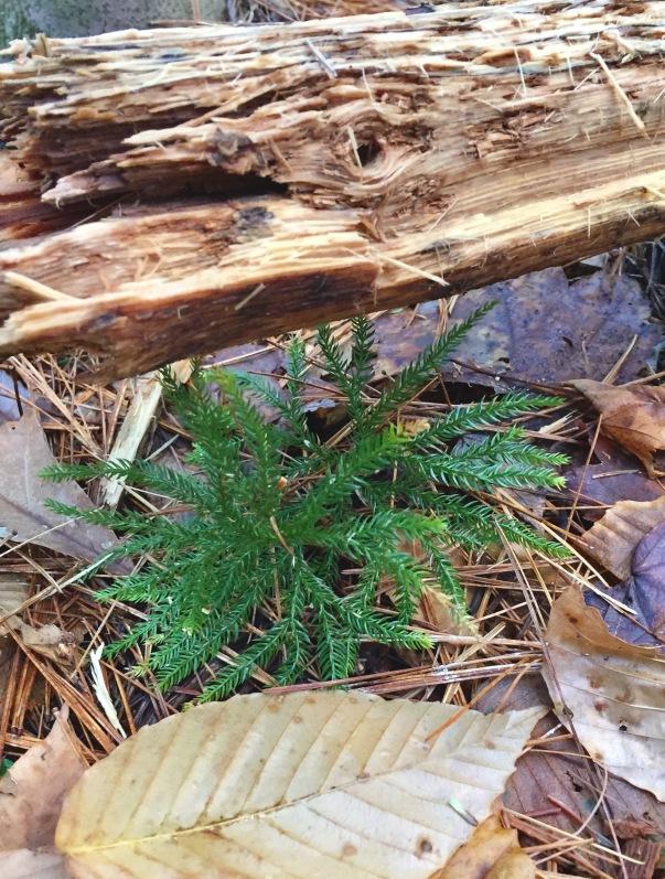 clubmoss princess pine