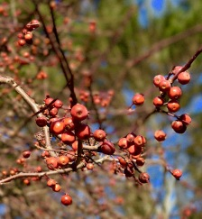 Crabapple berries