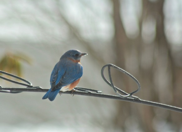 Bluebird with ice on beak
