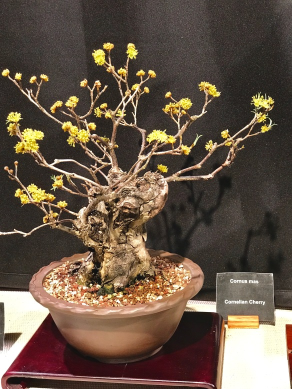 Boston Flower Show 2017, Cornus mas
