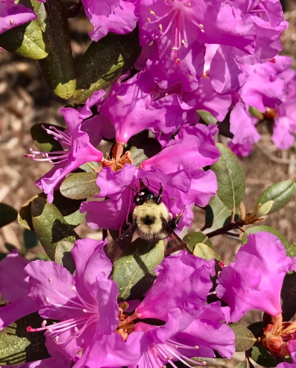 PJM rhododendron and bumblebee