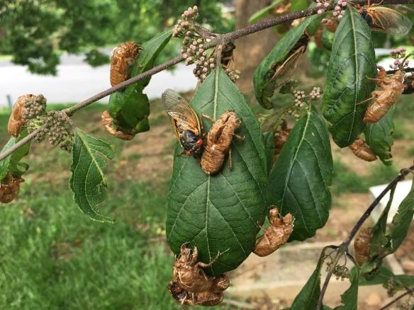 Louisville Cicadas 2017
