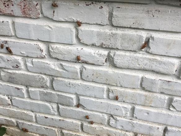 Louisville KY cicadas 2017