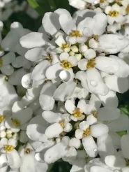 White Candytuff