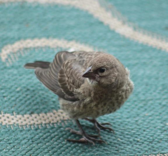 cowbird 3