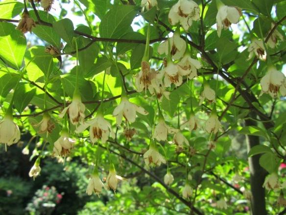 Styrax japonicus