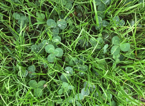 clover/grass mix
