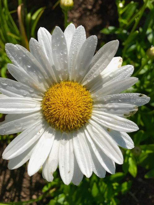 Daisy 'Becky'