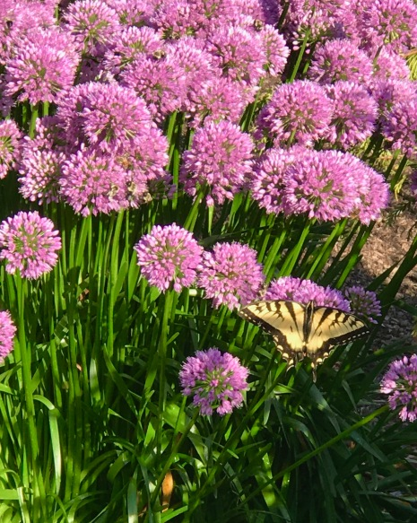 Eastern Tiger Swallowtail on Allium.jpg