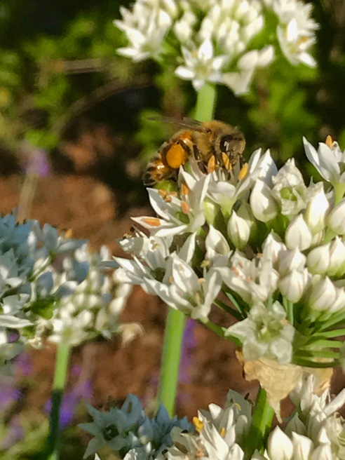 honeybee on garlic chives