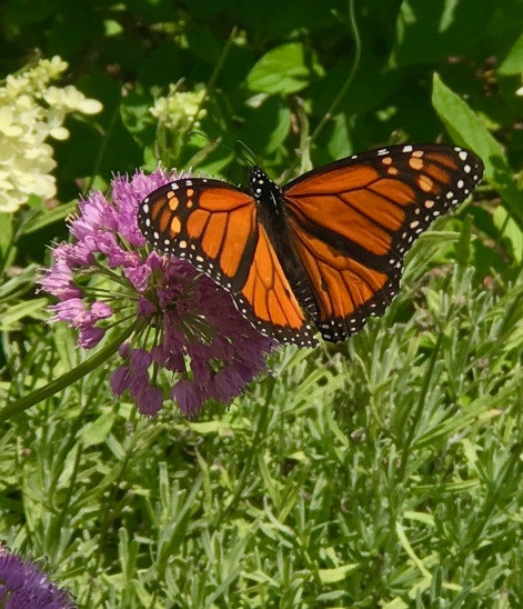 Male Monarch on allium