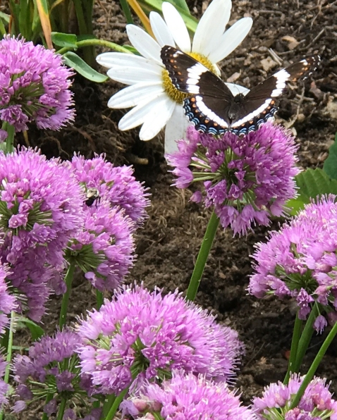 White Admiral on Allium