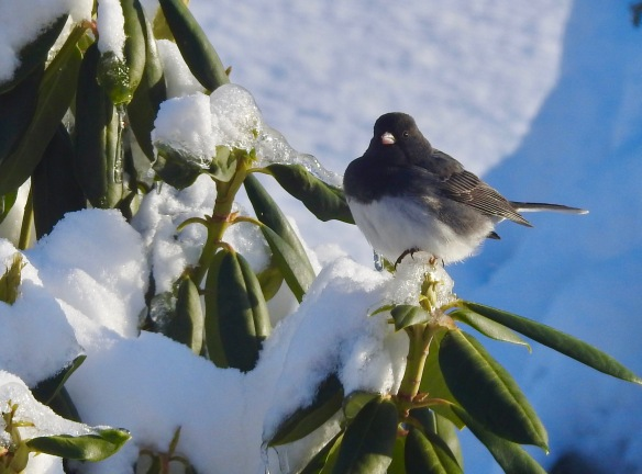 Junco on Rhody
