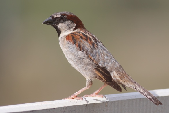 House_Sparrow_Wikipedia