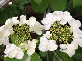viburnum bloom 2018