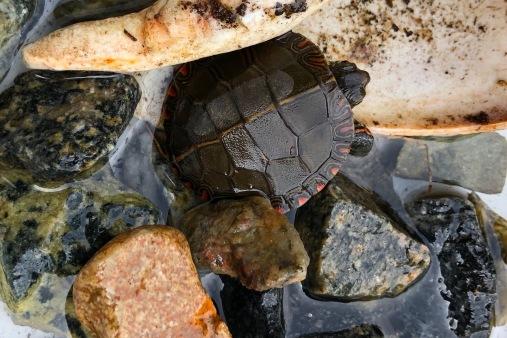 eastern painted turtle 2018
