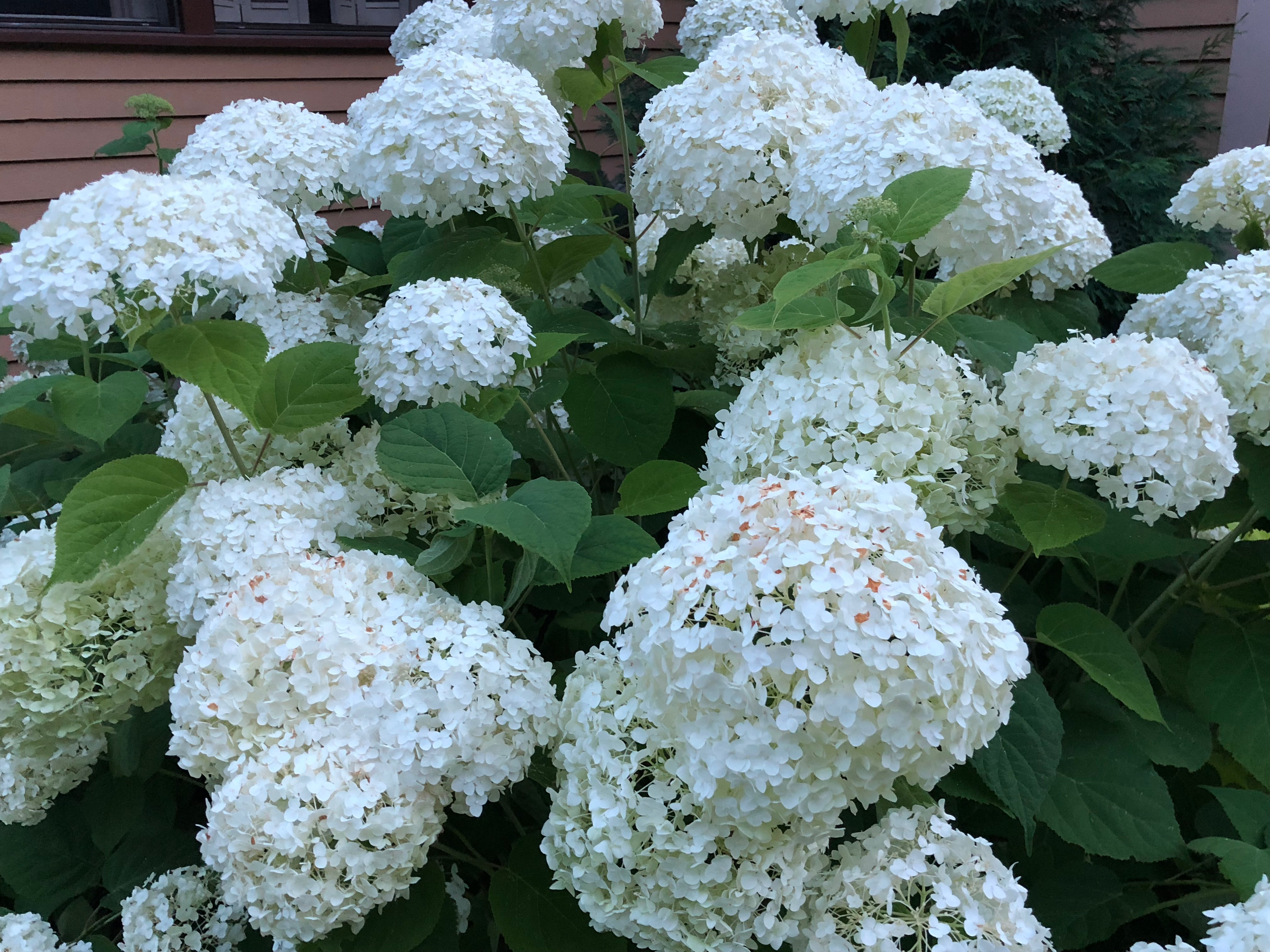 Hydrangea In New England Breaking New Ground In Zone 6