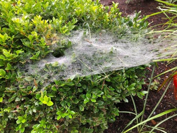 grass spider web