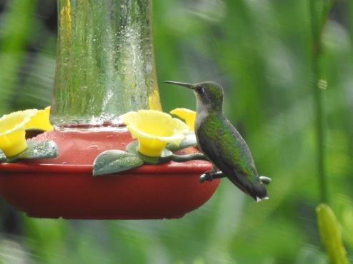 hummingbird 2018