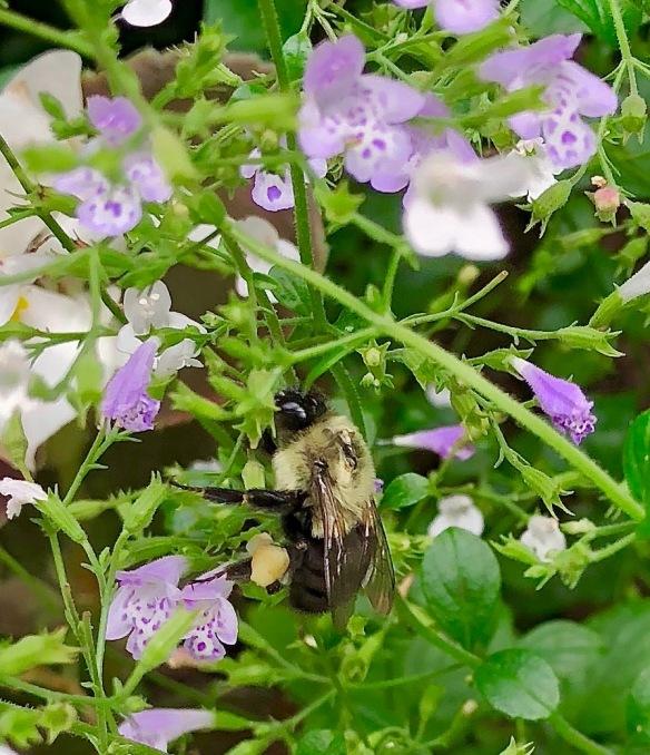 nepeta, bumblebee 2018