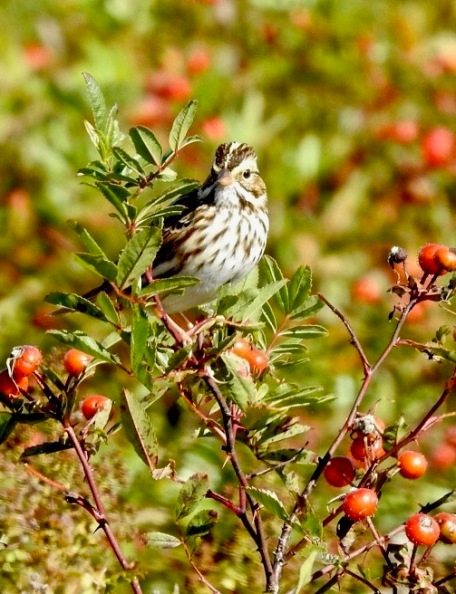 Mt. Agamenthus song sparrows 2018