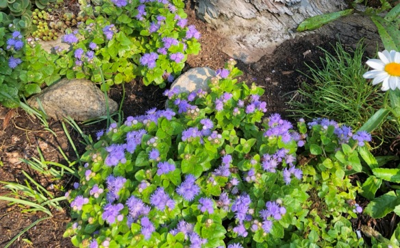 ageratum Blue Hawaii