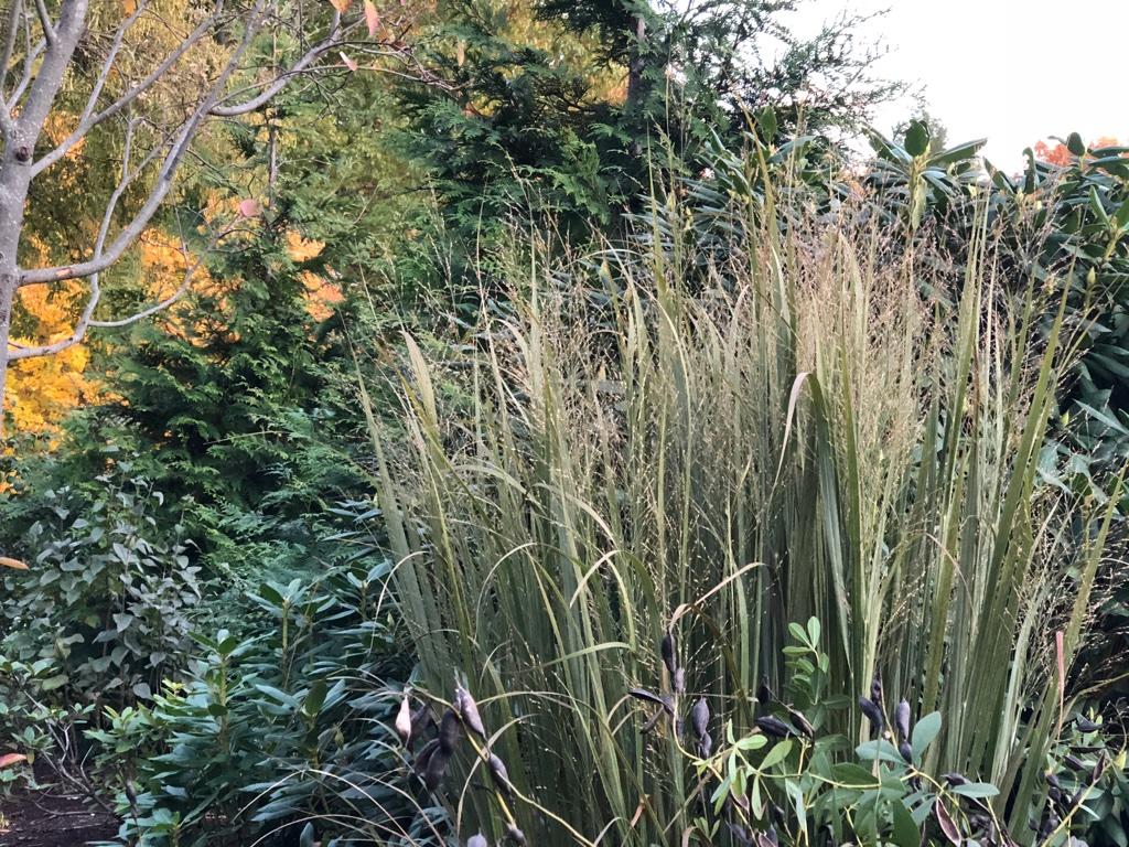 'Northwind' switchgrass 2018