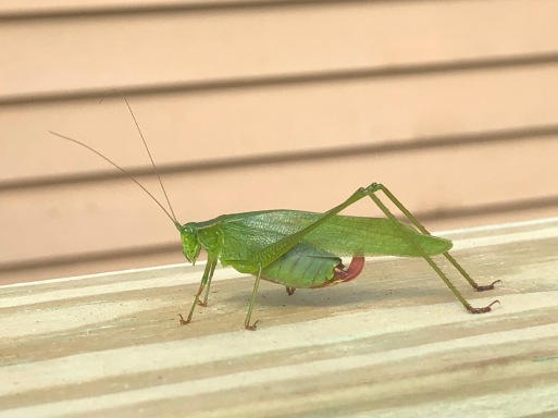 female katydid 2018