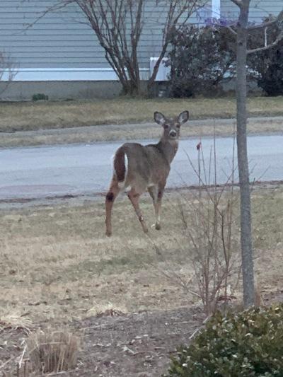 Deer April 1 2019
