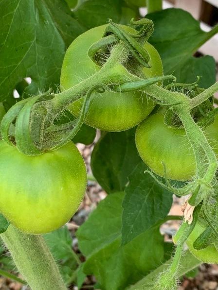'Celebrity' tomato plant 2019