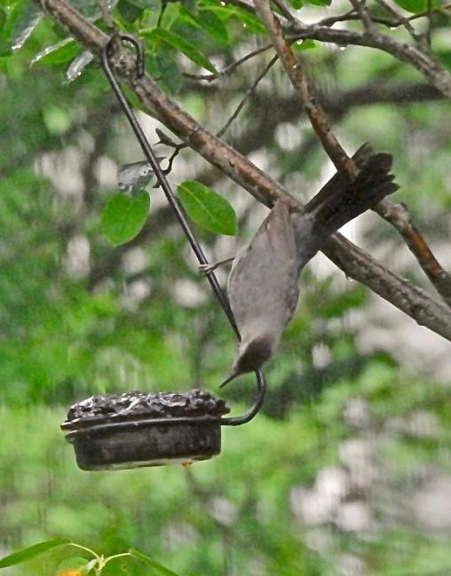 Gray Catbird 2019