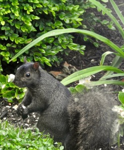 Black Squirrel 2019
