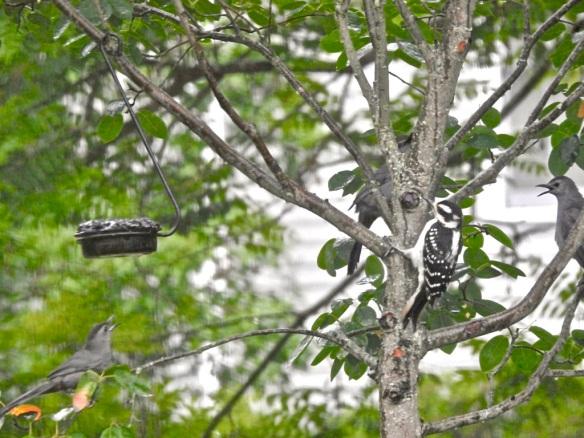 Three catbirds and a hairy woodpecker 2019