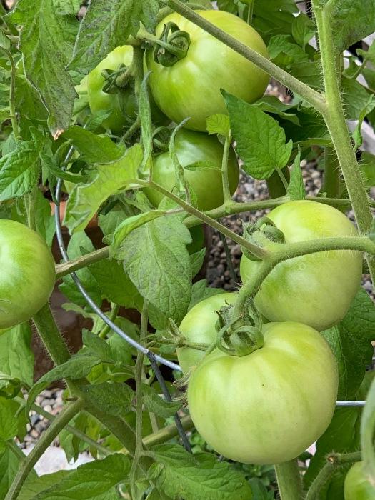 tomatoes anyone 2019