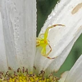 Crab spider 2019