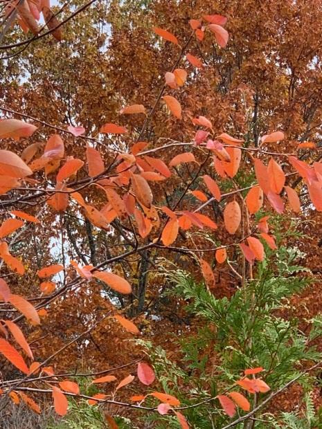 Serviceberry Tree 2019
