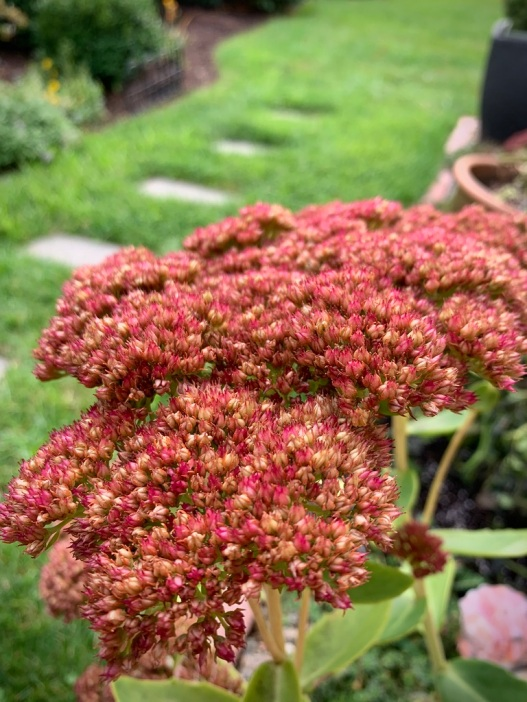 Autumn Joy sedum Oct. 2019