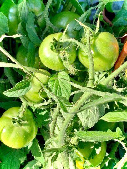 Celebrity tomatoes 2019