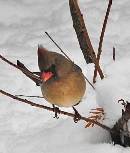 Female cardinal 2019