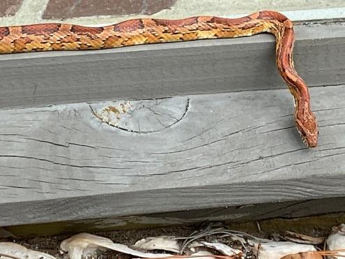 Hilton Head Corn Snake 2019